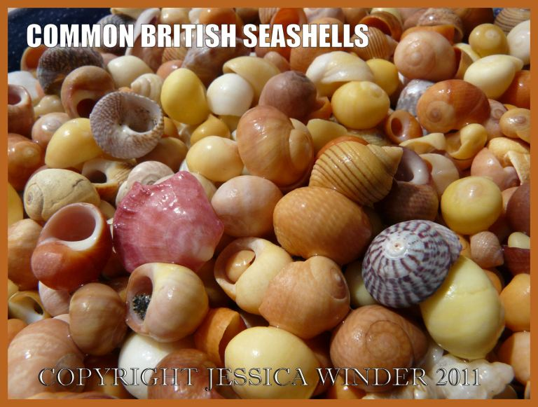 Common British seashells