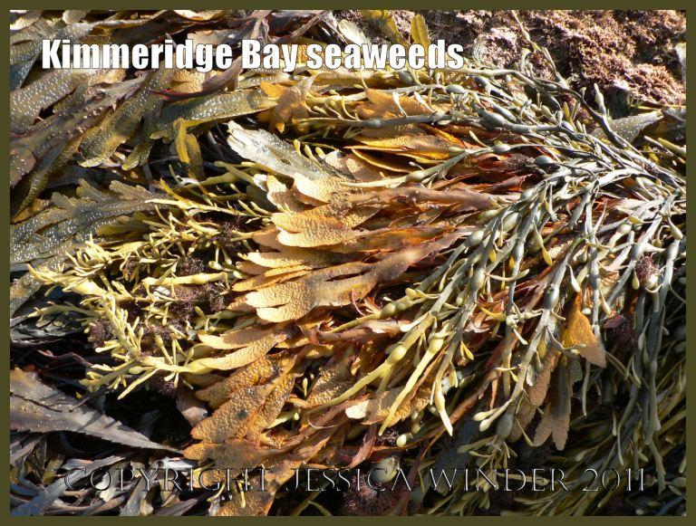 Kimmeridge Bay seaweeds