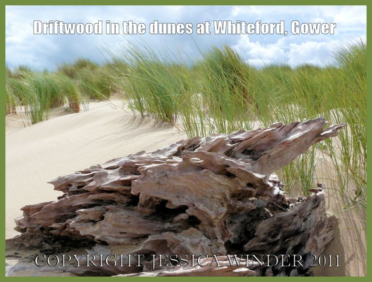 Driftwood on the dunes at Whiteford, Gower