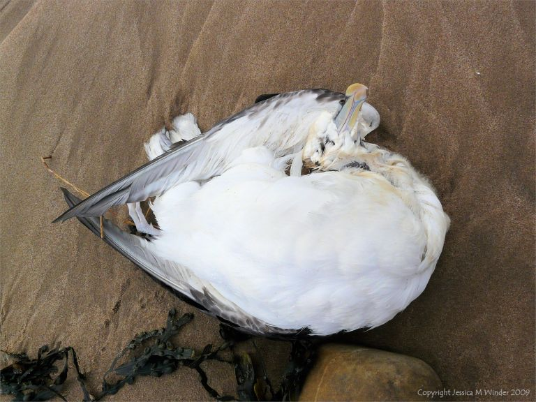 Dead fulmar bird on the seashore