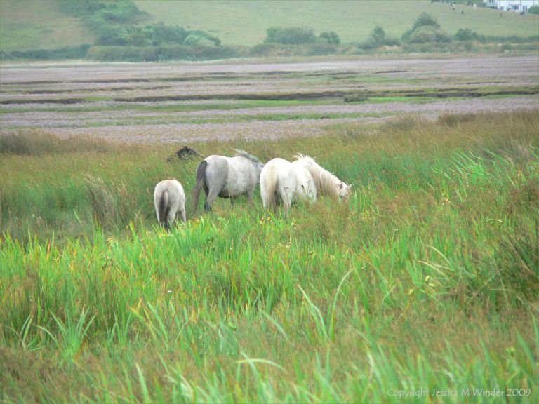 Ponies on salt marsh at Whiteford in North Gower