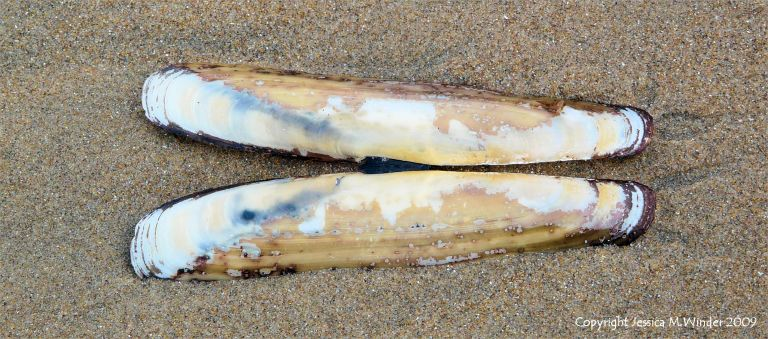 Pharus legumen bivalve shell like a razorshell