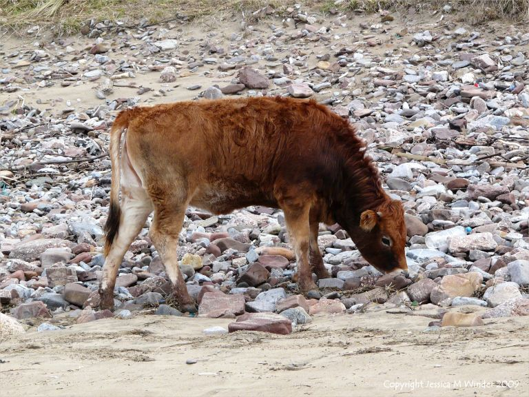 Calf foraging amongst beach pebbles