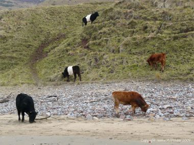 Cattle grazing on the lower slopes of Rhossili Down, Gower