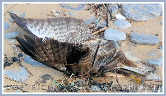 Dead bird of prey washed up on the beach