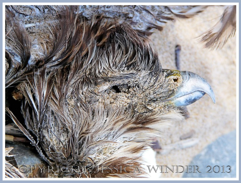 Dead bird of prey washed up on the beach - the head.