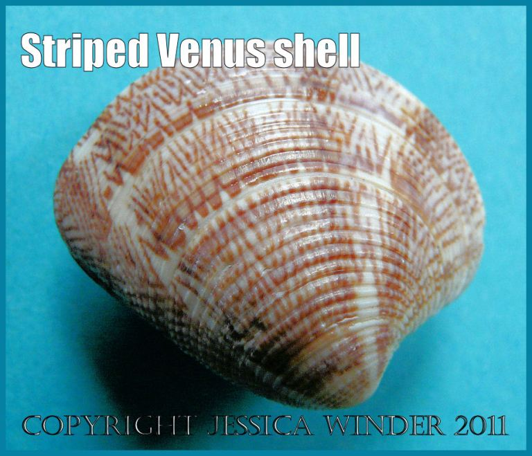 Picture of a seashell showing details of the shell texture and the pink patterns of the Striped Venus clam, Chamelea gallina (Linnaeus) - a common British seashell (P1050262aBlog2 )
