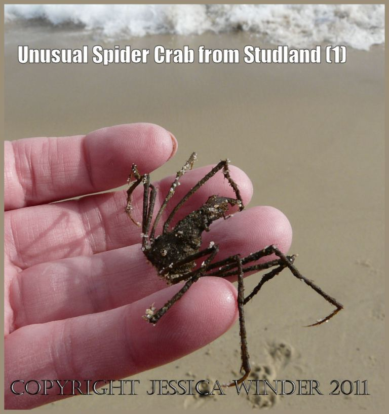 Crab pictures: an unusual small Spider Crab, Inachus sp., stranded on the beach at Studland Bay, Dorset, UK on 1st March 2009. Studland is part of the World Heritage Site Jurassic Coast (1)