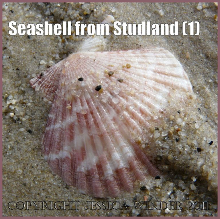Picture of a small Variegated Scallop shell with a pink and white pattern in the wet sand at Studland Beach, Dorset, UK on the Jurassic Coast World Heritage Site (1)