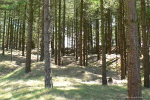 Dunes stabilised by pine trees