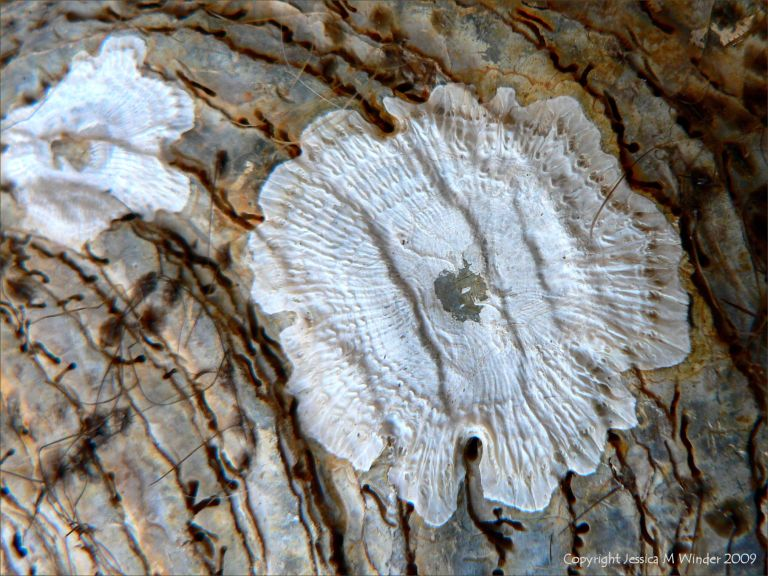 Pattern left by an acorn barnacle which has become detached from the outside of an oyster shell