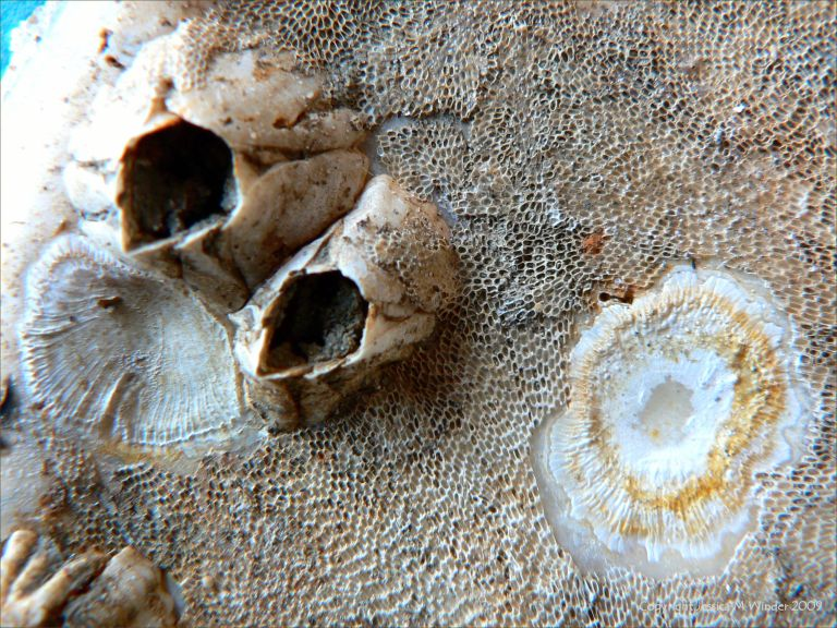 Empty acorn barnacles, attachment 'scars', and bryozoa on an oyster shell
