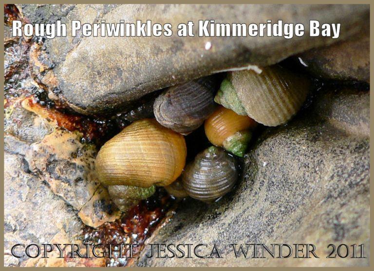 P1010604aBlog1 Rough periwinkles, Littorina saxatilis (Olivi), in a rock crevice at Kimmeridge Bay, Dorset, UK on the Jurassic Coast World Heritage Site.