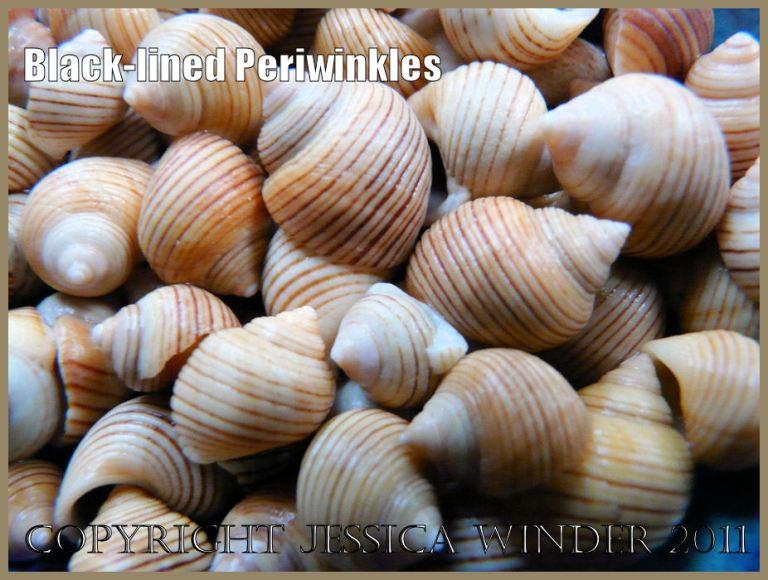 P1030796aBlog2 Black-lined Periwinkle shells, Littorina nigrolineata Gray.