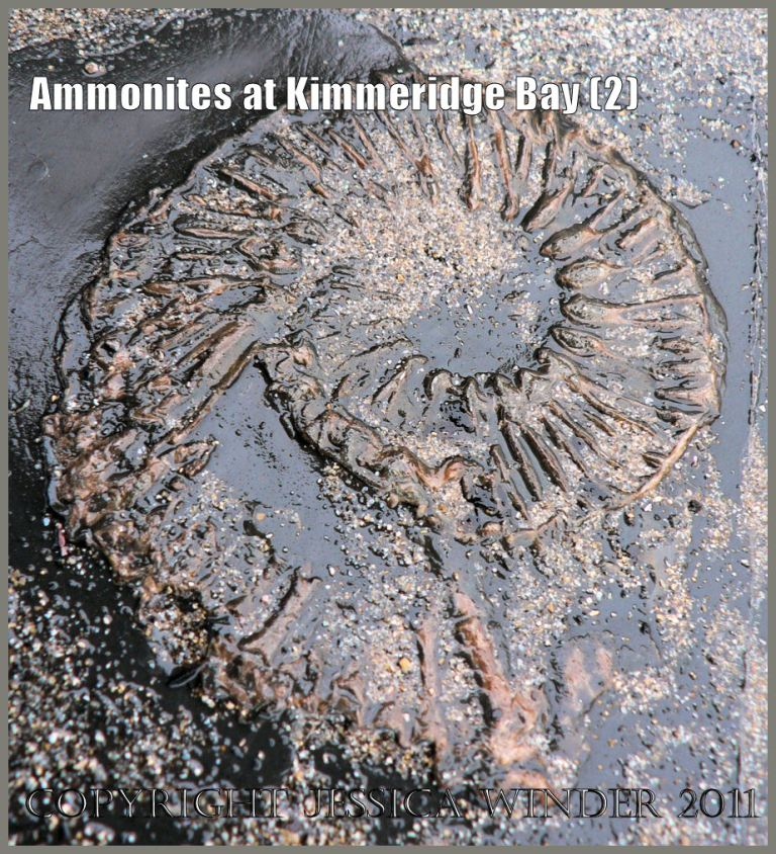 P1050276bBlog2 Ammonite fossil from Kimmeridge Bay, Dorset, UK on the Jurassic Coast World Heritage Site (2)