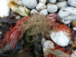 Hydroids and seaweed on the strandline