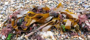 Kelp on the strandline