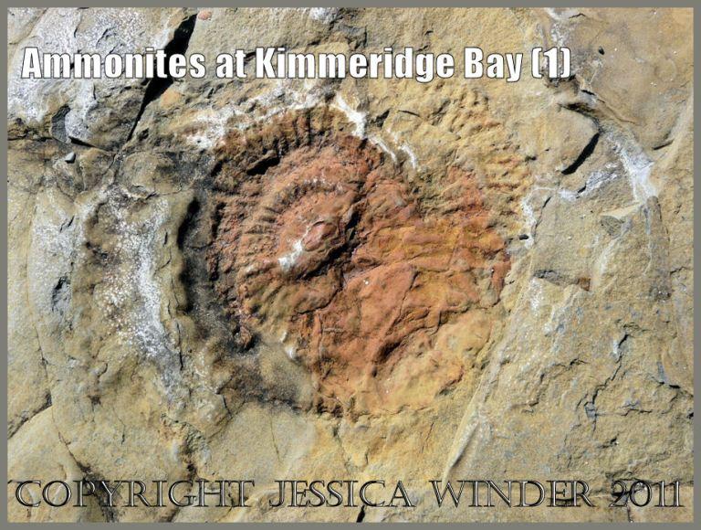 P1050994aBlog1 Ammonite fossil at Kimmeridge Bay, Dorset, UK - part of the Jurassic Coast.