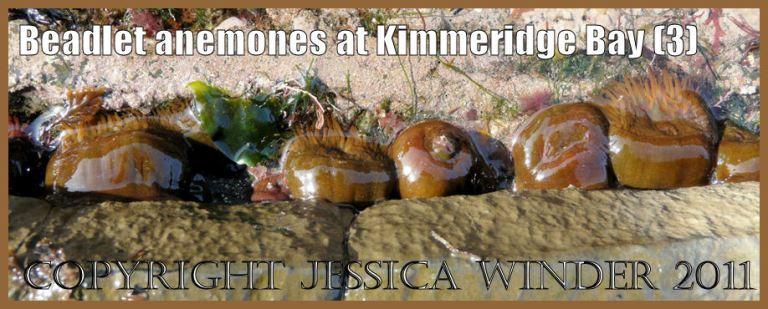 P1060124aBlog3 Beadlet Anemones, Actinia equina (Linnaeus), mid-way between red and orange colour, at Kimmeridge Bay, Dorset, UK on the Jurassic Coast World Heritage Site.