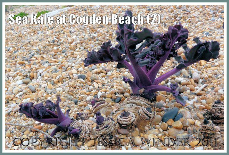 Sea Kale, Crambe maritima Linnaeus, emerging from the shingle at Cogden Beach, Dorset, UK - part of the Jurassic Coast (2)