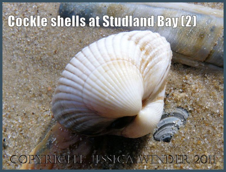 Studland Bay cockle shell picture: Clean, fresh, white cockle shell, Cerastoderma edule (Linnaeus), at Studland Bay, Dorset, UK - part of the Jurassic Coast (P1050471bBlog2)