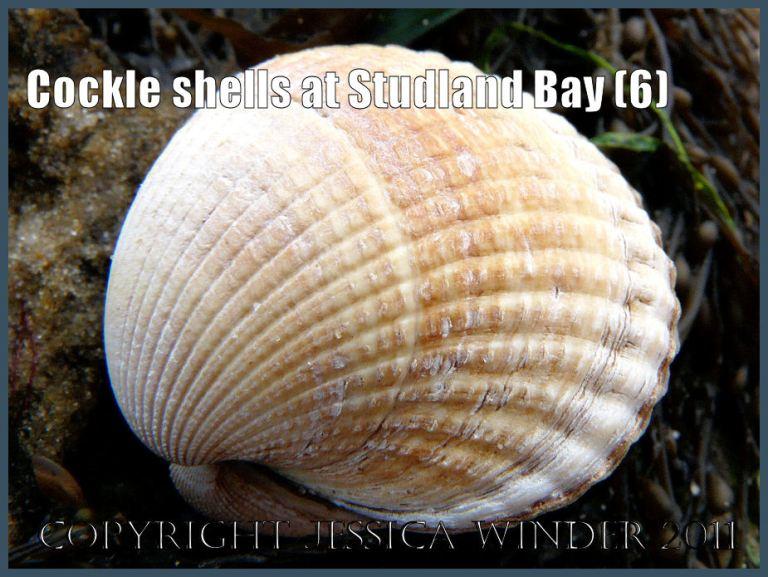 Common British seashell picture: Cockle shell, Cerastoderma edule (Linnaeus), on Studland Beach, Dorset, UK - part of the Jurassic Coast (P1080848aBlog6)
