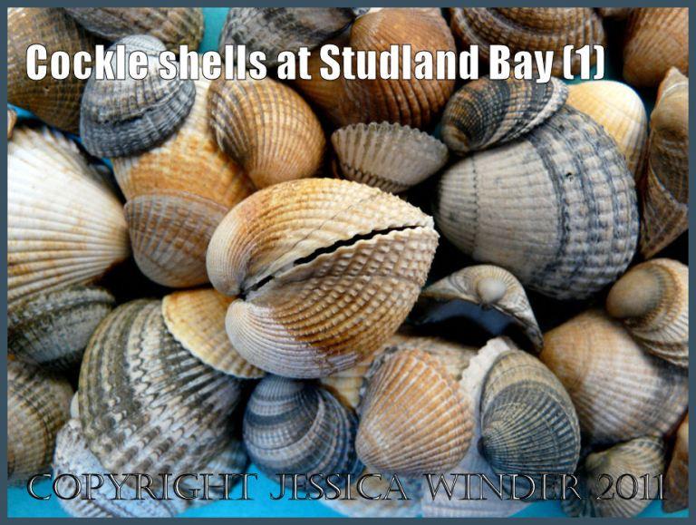 Seashells picture: An arrangement of common cockle shells, Cerastoderma edule (Linnaeus), from Studland Bay, Dorset, UK - part of the Jurassic Coast World Heritage Site (P1090696aBlog1)