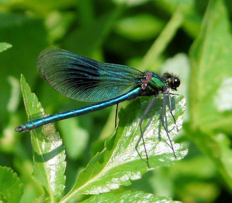 Blue damselfly, Agrion splendens (Harris), on bankside vegetation of the River Cerne, Dorset, UK.