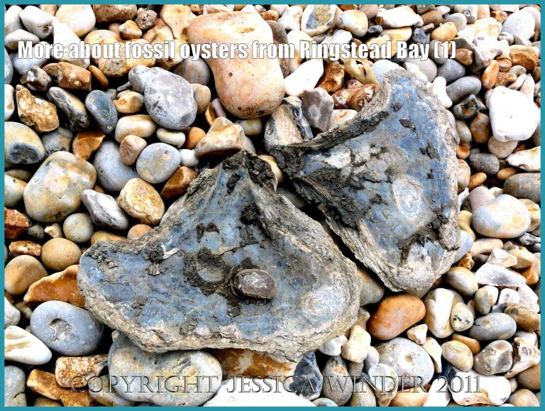 P1090838aBlog1 Fossil oyster shells, Deltoidium delta, at Ringstead Bay, Dorset, UK part of the Jurassic Coast World Heritage Site, showing mystery inclusion (1)