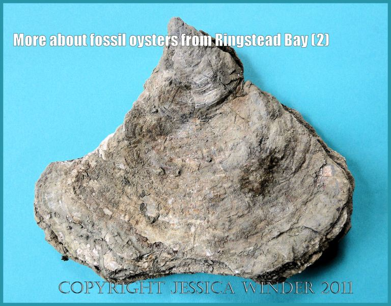P1090955aBlog2 The Jurassic fossil oyster, Deltoidium delta, from Ringstead Bay, Dorset, UK on the Jurassic Coast World Heritage Site, showing typical almost triangular shape (2)