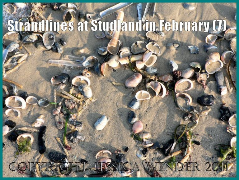 Picture of seashells: Strandline with seashells and other natural debris on the wet sand at the National Trust owned beach at Studland Bay, Dorset, UK, in February 2009, on the Jurassic Coast World Heritage Site (P1110411aBlog7)