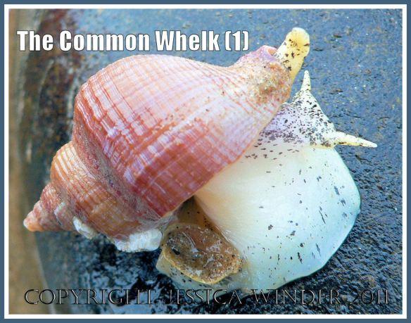 Common Whelk: Pink shelled living specimen of Common Whelk, Buccinum undatum Linnaeus, on rocks at Burry Holms, Rhossili, Gower, South Wales, U.K. (1)