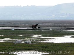 Saltmarsh Sheep at Whiteford (10) - Flooded drainage channels with stranded sheep, wild ponies, and flocks of sea birds at high spring tide on Landimore Marsh at Whiteford, Gower, South Wales, June 2009.