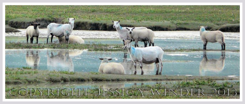 Saltmarsh Sheep at Whiteford (1) - Sheep on flooded ground at Landimore Marsh, Whiteford, Gower, South Wales.
