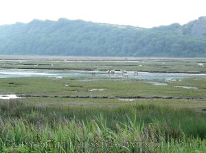 Saltmarsh Sheep at Whiteford (11) - Flooded drainage channels with stranded sheep at high spring tide on Landimore Marsh at Whiteford, Gower, South Wales, June 2009.