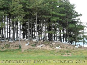 Saltmarsh Sheep at Whiteford (16) - Sheep resting beneath pine trees on Bergins Island which is part of Whiteford National Nature Reserve and adjacent to Landimore Marsh. June 2009.