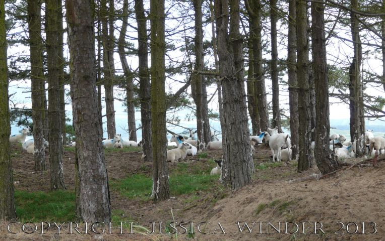 Saltmarsh Sheep at Whiteford (17) - Sheep resting beneath pine trees on Bergins Island which is part of Whiteford National Nature Reserve and adjacent to Landimore Marsh. June 2009.