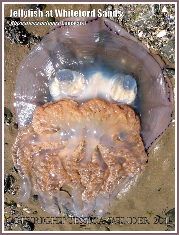 Stranded jellyfish: A large jellyfish, Rhizostoma octopus (Linnaeus), stranded on the beach at Whiteford Sands, Gower, South Wales,  27 June 2009.
