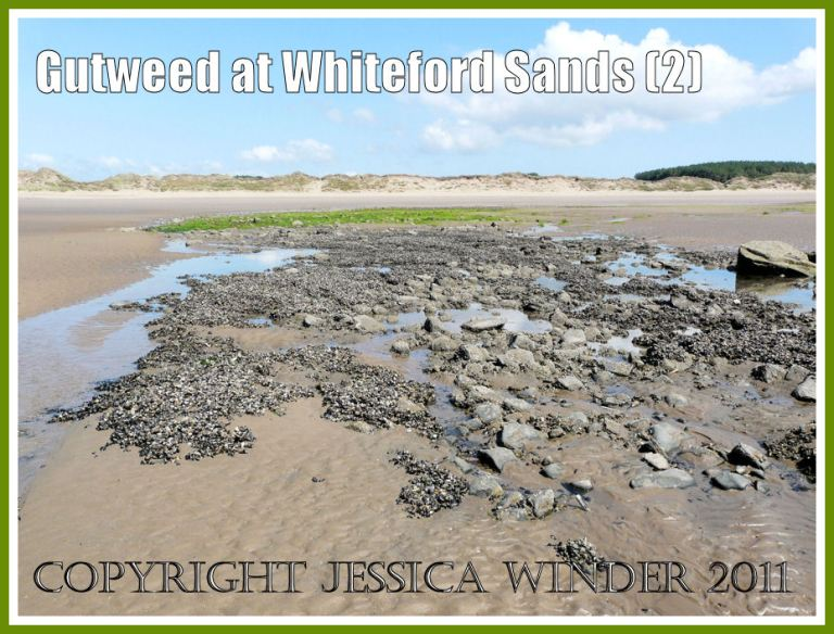 Gutweed on seashore rocks: A rocky outcrop on the beach at Whiteford Sands, Gower, South Wales, showing only partial coverage by Gut Weed at the landward edge (2)