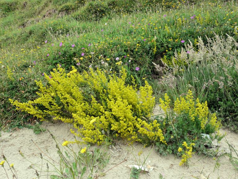Yellow flowers of Lady's Bedstraw, Galium verum, growing on sand at the top of the beach on Rhossili Bay, Gower, South Wales.