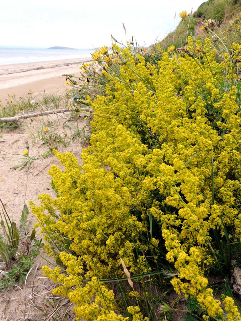 Lady's Bedstraw, Gallium verum, growing on the sand at the base of Rhossili Down on Rhossili Bay, Gower, South Wales