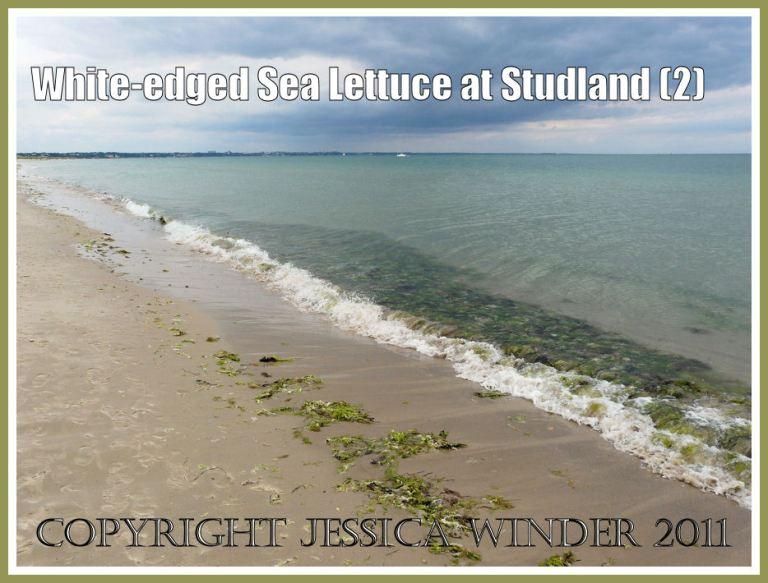 Studland Bay pimage: The freshly deposited strandline of green seaweeds including the white-edged Sea Lettuce at Studland Bay, Dorset, UK - part of the Jurassic Coast (P1120293aBlog2)