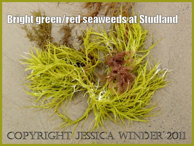 Seaweed picture: Vivid golden green Rhodophyte seaweed washed up on the sand of Studland Bay, Dorset, UK - part of the Jurassic Coast (P1120319aBlog1).