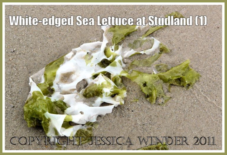 Sea Lettuce photograph: The green seaweed Sea Lettuce, Ulva lactuca Linnaeus, with white edges caused by shedding the reproductive products, on the sand at Studland Bay, Dorset, UK - part of the Jurassic Coast (P1120357aBlog1)
