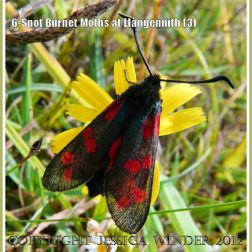 6-Spot Burnet Moths at Llangennith (3)