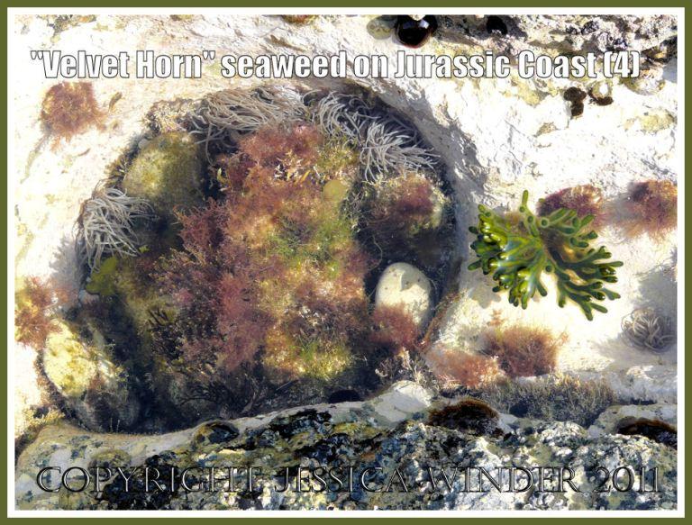 Seaweed and sea anemones: Velvet Horn seaweed in a rock pool with sea anemones on Dorset's Jurassic Coast (4)