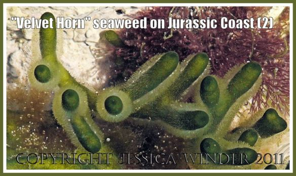 Jurassic Coast seaweeds: Velvet Horn seaweed in a rock pool on the Jurassic Coast in Dorset, UK (2)