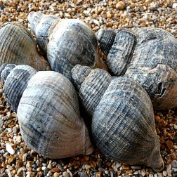 An arrangement of blackened Common Whelk shells from Gower, South Wales.