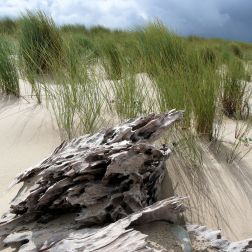 Driftwood at Whiteford, Gower, South Wales (3)
