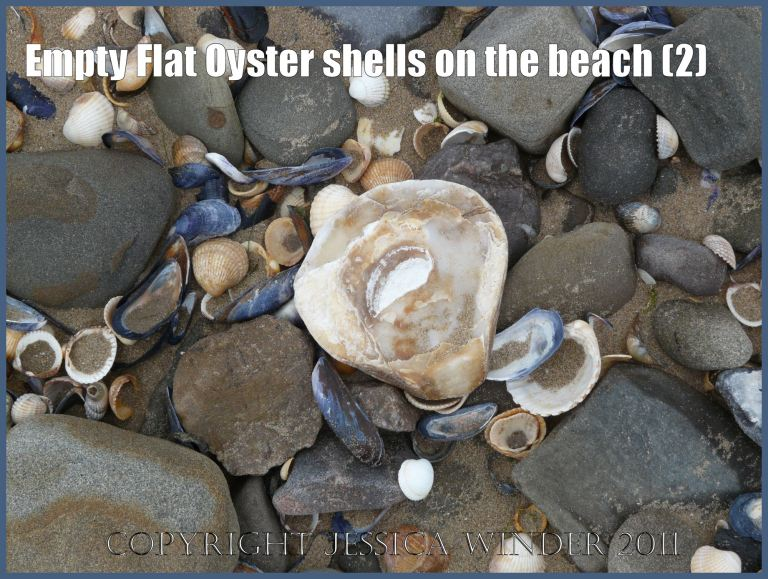 P1020462aBlog2 Empty Flat Oyster shell (Ostrea edulis Linnaeus) on the beach 2